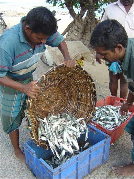 Vendors from Gurunagar purchase the fish for sale in Jaffna town.