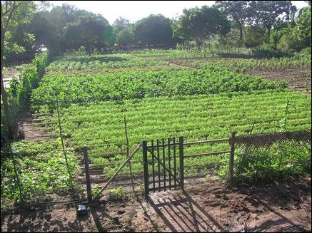 A view of the 2-acre field where 1.3 acres are occupied by cash crops (vegetables) and 0.7 acres are occupied by fruit crops.