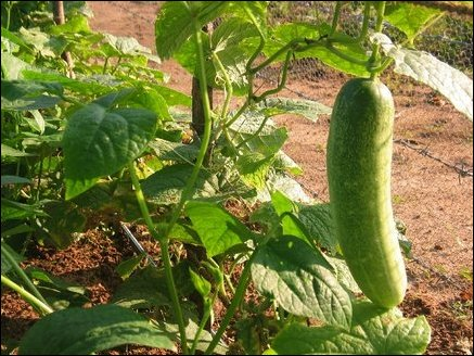 Drip irrigation scheme feeds water to many categories of vegetable plants including cucumber. Drip irrigation results in water savings, improves water penetration, and provides increased yields.