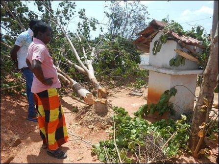 Bo tree cut down at Chaampaltheevu